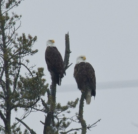 Bald Eagles by Beth Olson on the Gwinn CBC.